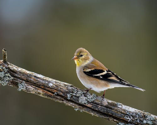 Colorful American goldfinch with yellow spots and stripes on black wings sitting on wooden stick in forest on blurred background