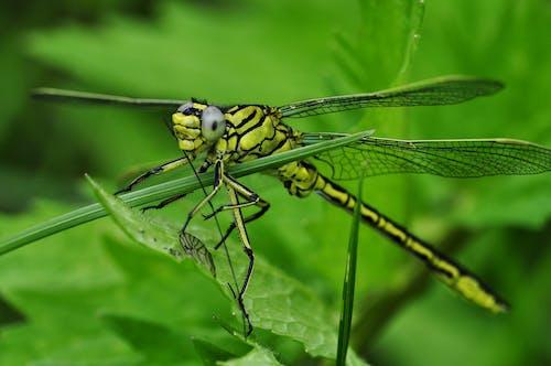 คลังภาพถ่ายฟรี ของ สีเขียว, แมลง, แมลงปอ, แมโคร
