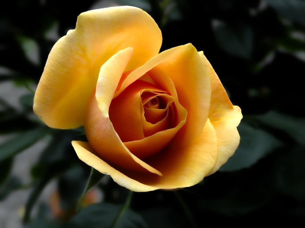Yellow Rose Close Up Photography