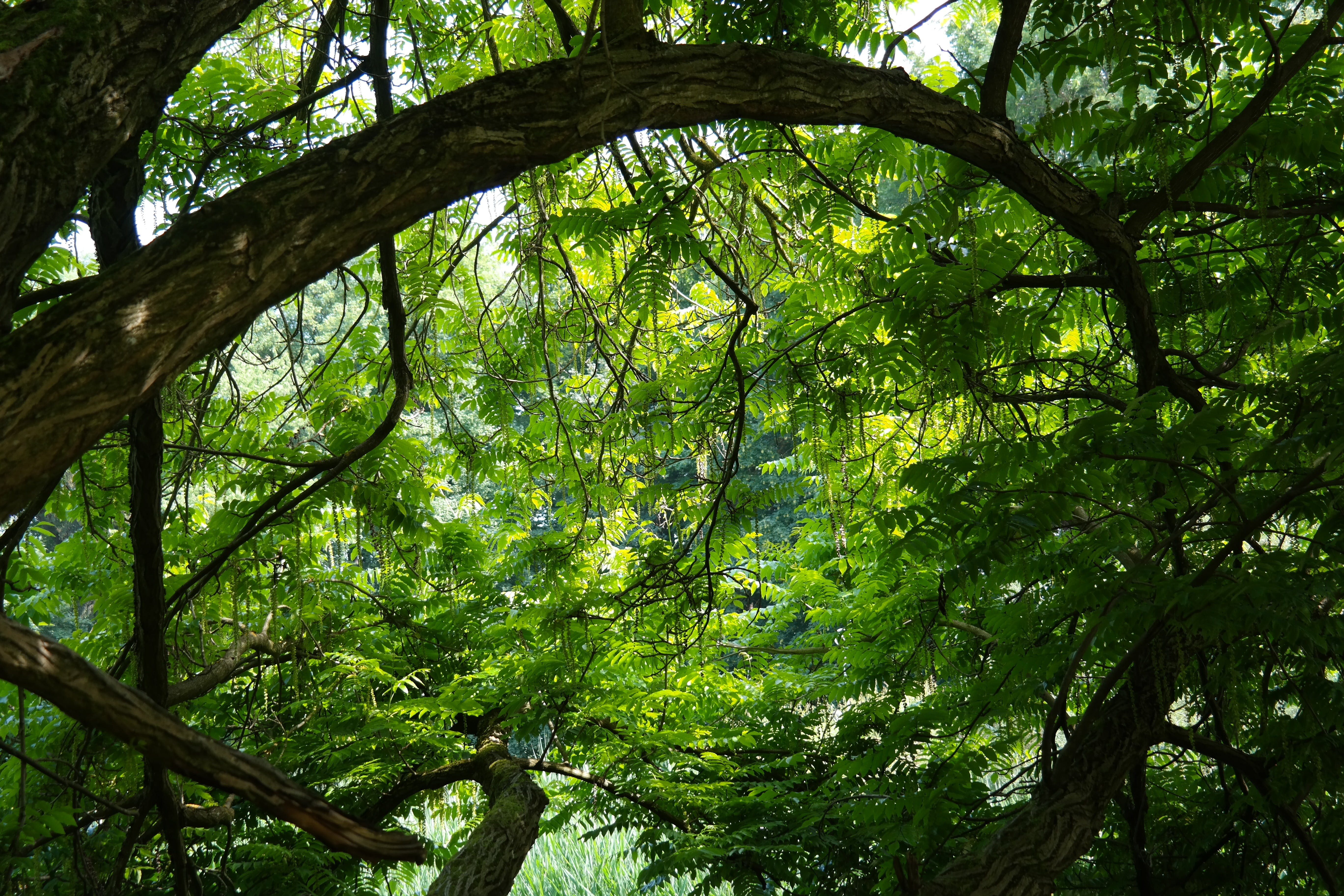 Free stock photo of back light, branches, close, deciduous tree