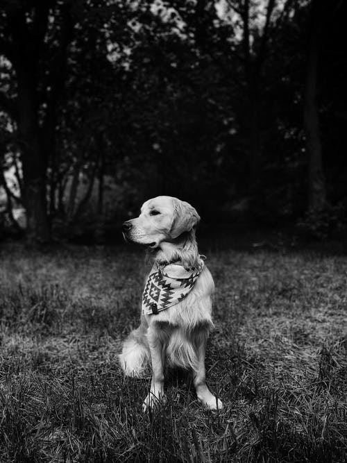 Grayscale Photo of Golden Retriever Sitting on Grass Field