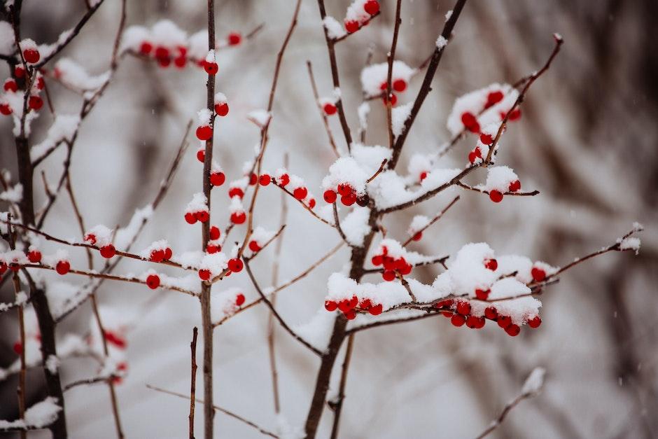 berries, berry, branch