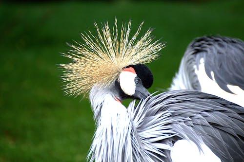 Immagine gratuita di animale, fotografia di animali, gru coronata grigia, macro