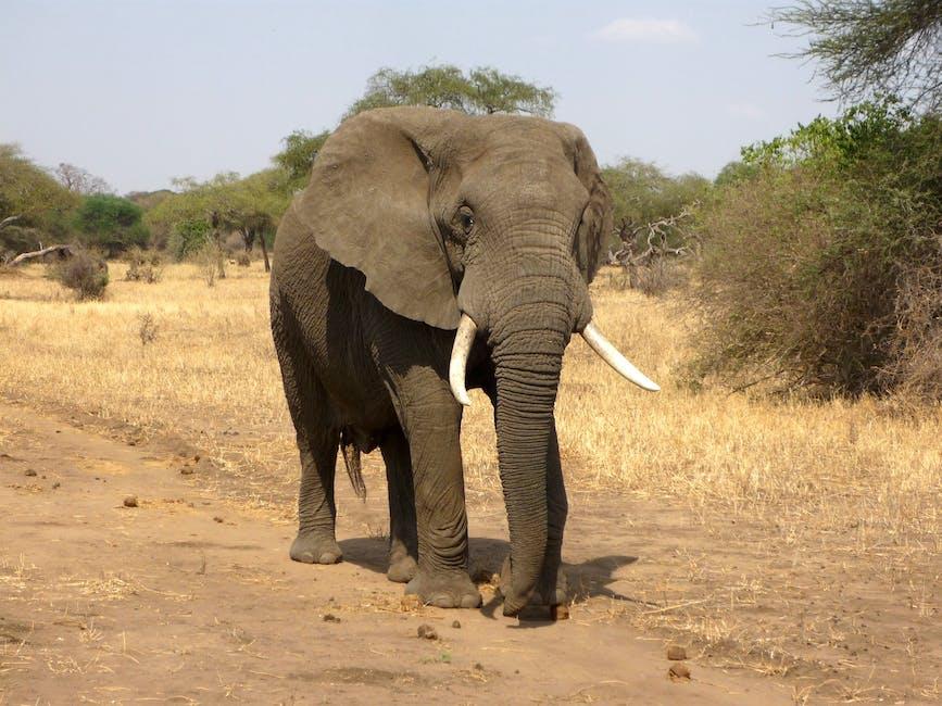 africa, african bush elephant, elephant