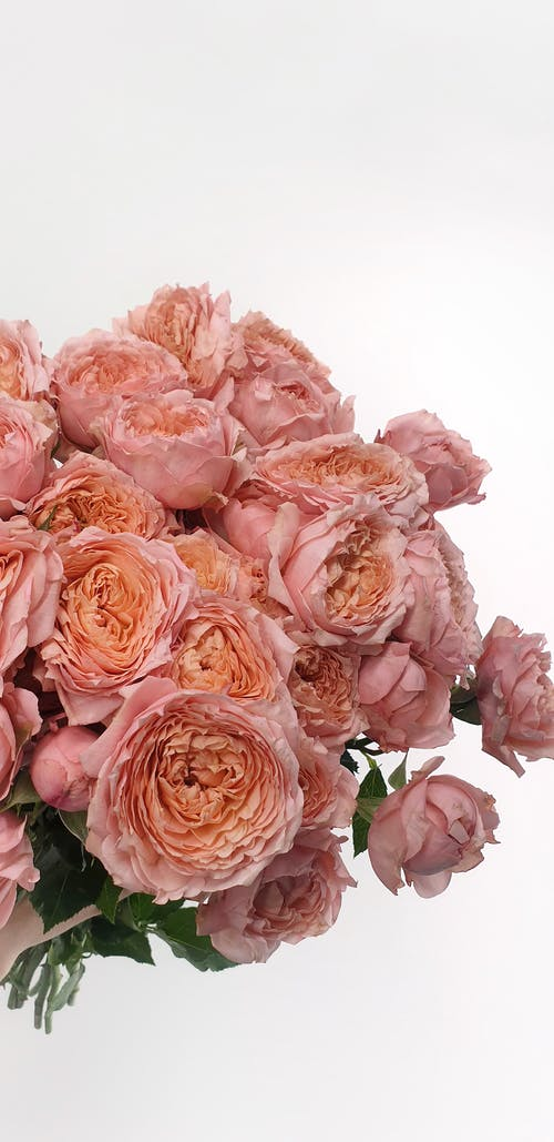 Bunch of fresh gentle aromatic Austin roses with delicate petals against white background