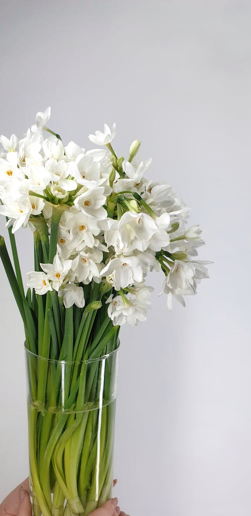 Crop anonymous person holding glass vase with delicate Narcissus papyraceus flowers with gentle white petals in light studio