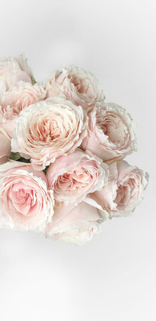 Bunch of tender pink Austin roses in white room