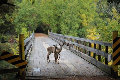 Free stock photo of deer, fawn, minocqua