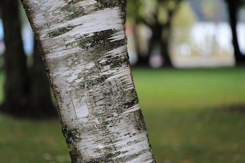 Free stock photo of birch tree