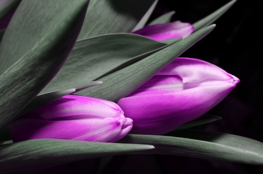 Selective Color Photograph of Closed Purple Tulips Among Gray Leaves