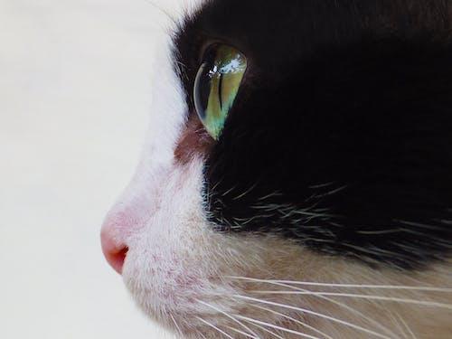 Gratis lagerfoto af close-up, dyr, kæledyr, kat