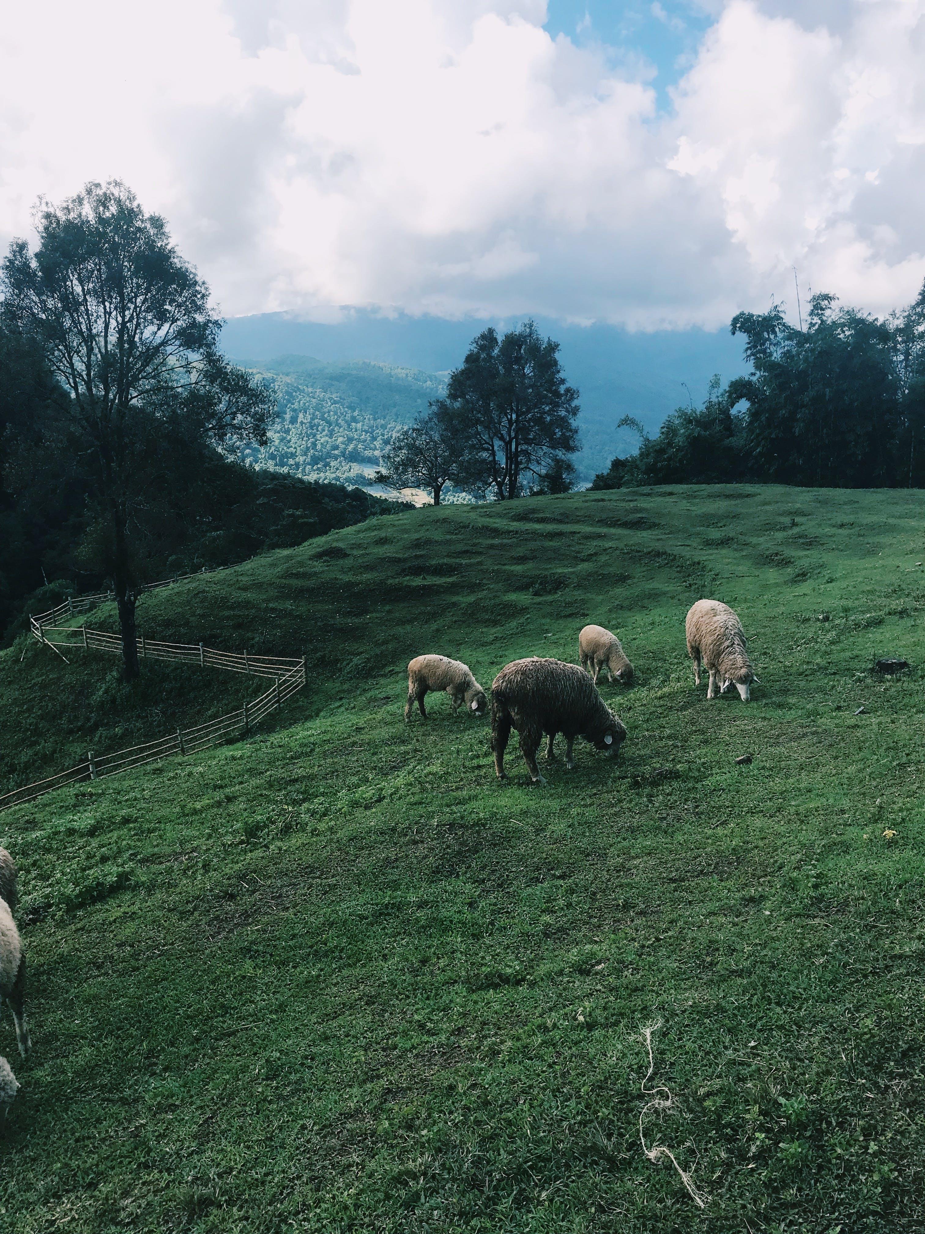 Free stock photo of #chiangmai #mountain #nature #sheep #chubby #doi #