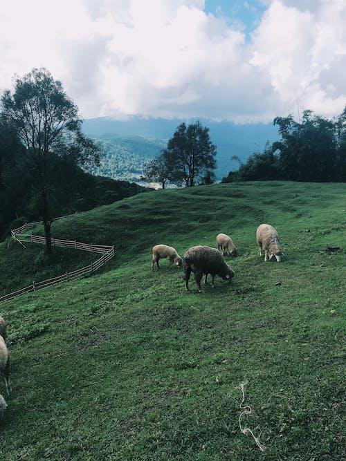 Безкоштовне стокове фото на тему «#chiangmai #mountain #nature #sheep # chubby #doi #»