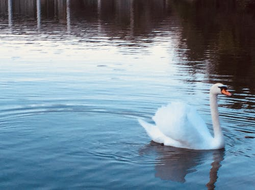 Free stock photo of ombre, ombre water, swan