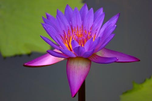 Darmowe zdjęcie z galerii z egzotyczny, fioletowy, flora, jasny