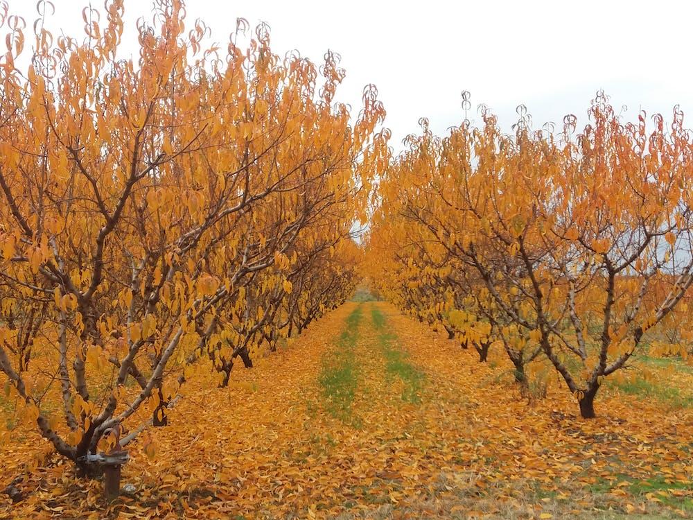 Free stock photo of fall leaves, fog, foggy