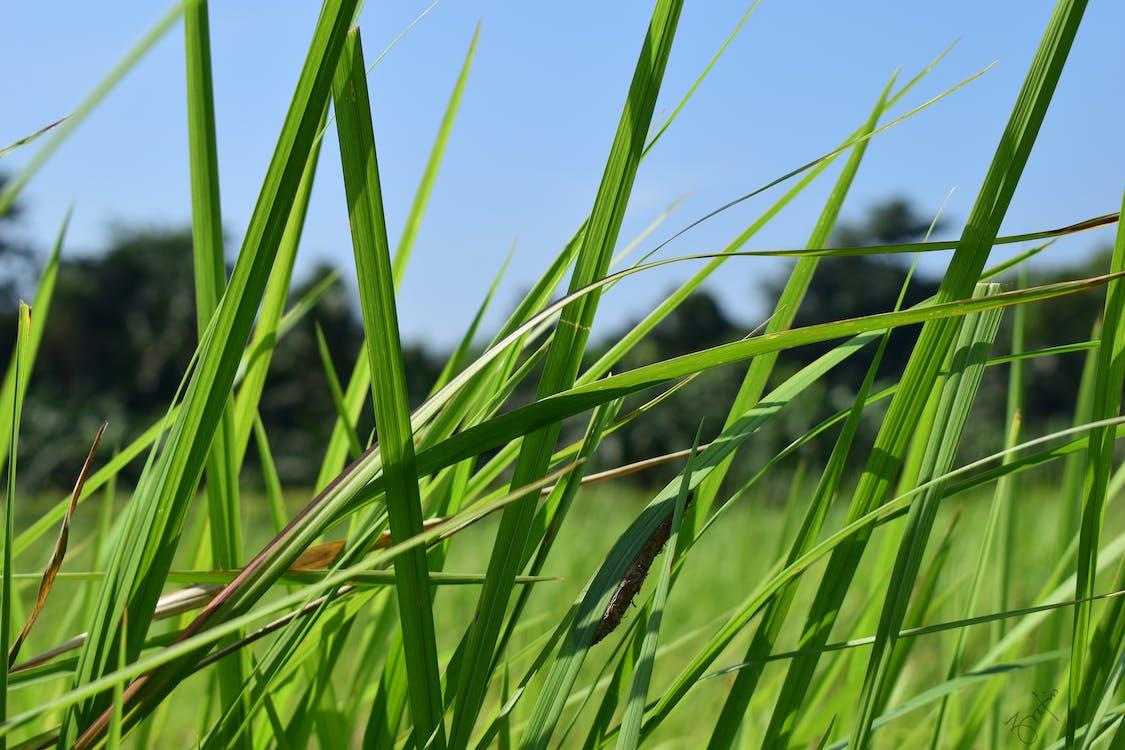Free stock photo of field, grass, grass field