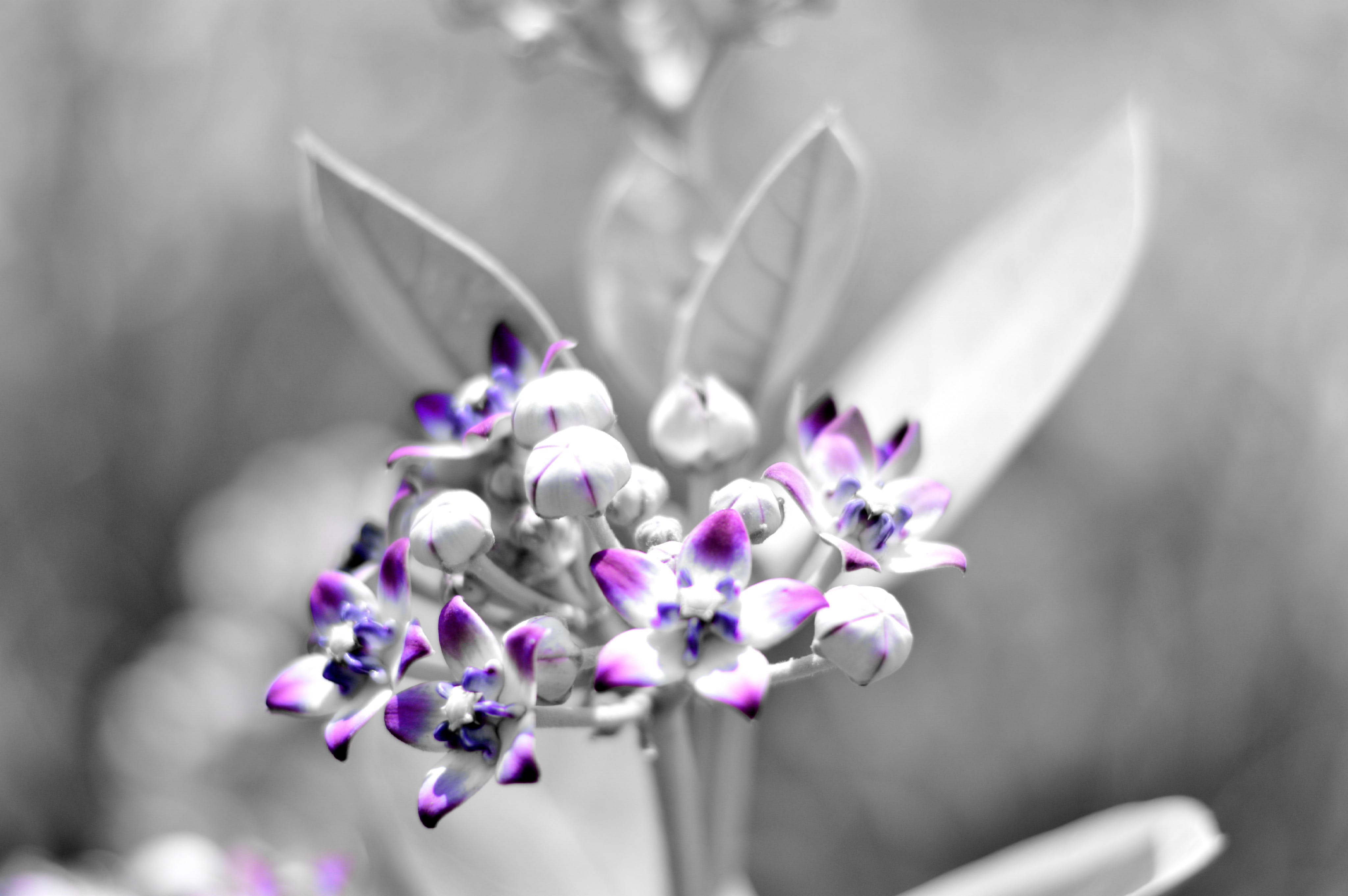 Free stock photo of black&white, black-and-white, color, flowers