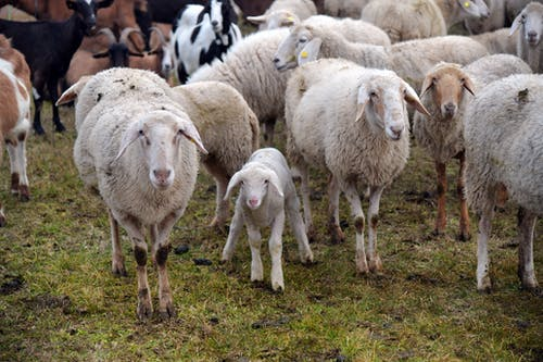Herd of Sheep on Green Grass