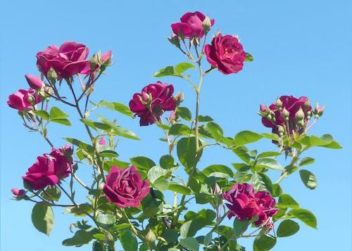 Δωρεάν στοκ φωτογραφιών με κόκκινα λουλούδια, Κόκκινο τριαντάφυλλο