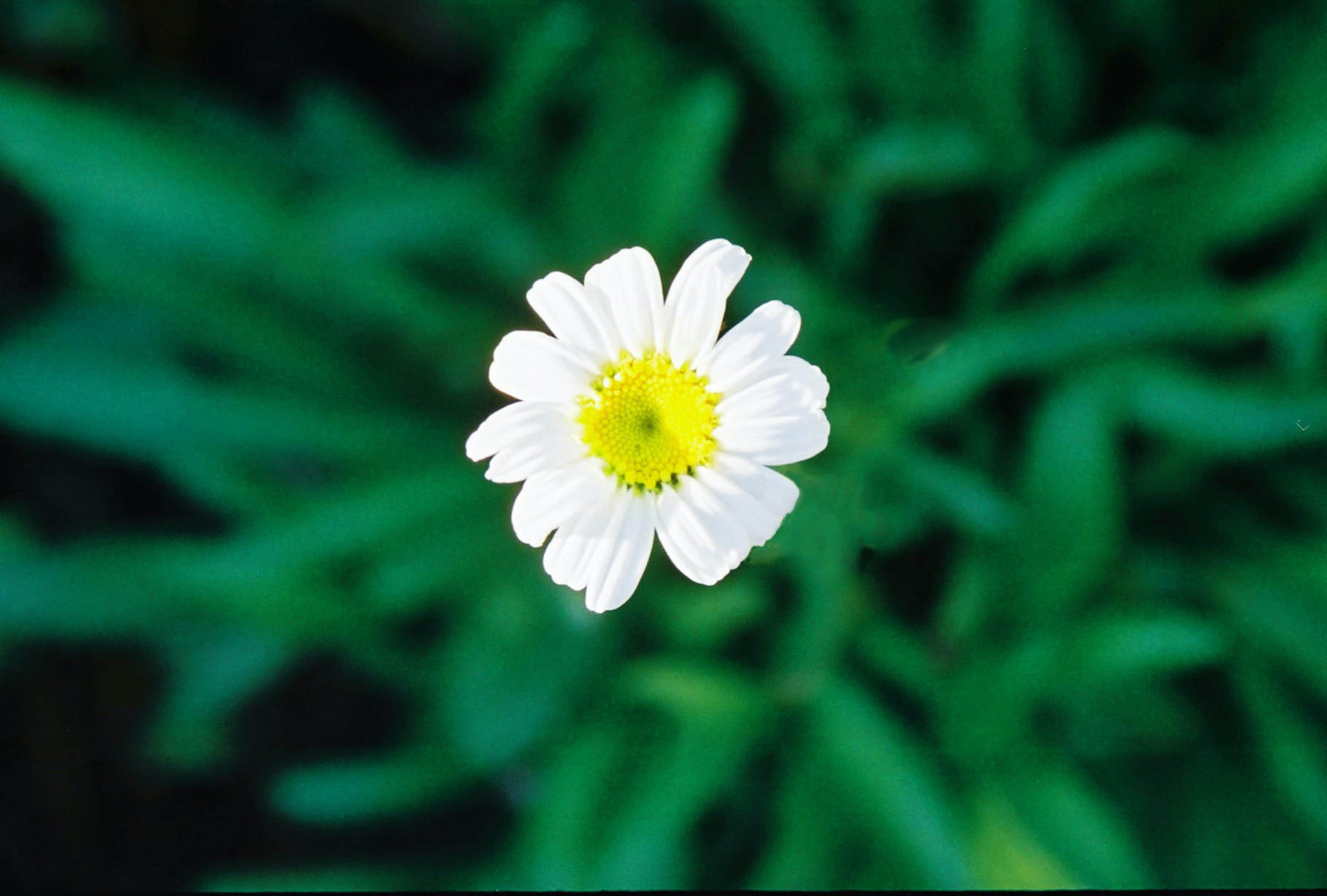 Free stock photo of daisy, white flower