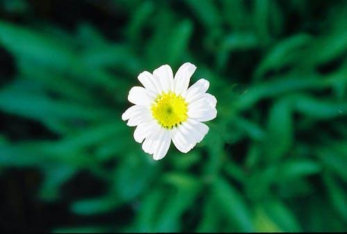 Δωρεάν στοκ φωτογραφιών με λευκό λουλούδι, μαργαρίτα