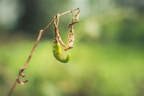 Základová fotografie zdarma na téma čili, rostlina, zahrada, závod