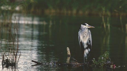 Ilmainen kuvapankkikuva tunnisteilla eläin, luonto, luontotaustakuva, sininen harmaahaikara