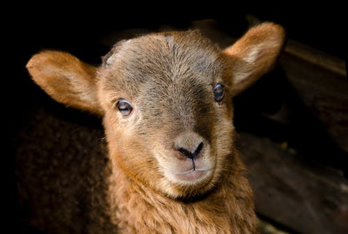 Brown Sheep Close Up Photography