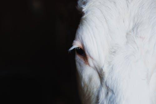 Fotobanka sbezplatnými fotkami na tému biely kôň, cicavec, hlava koňa, jazdec (šach)