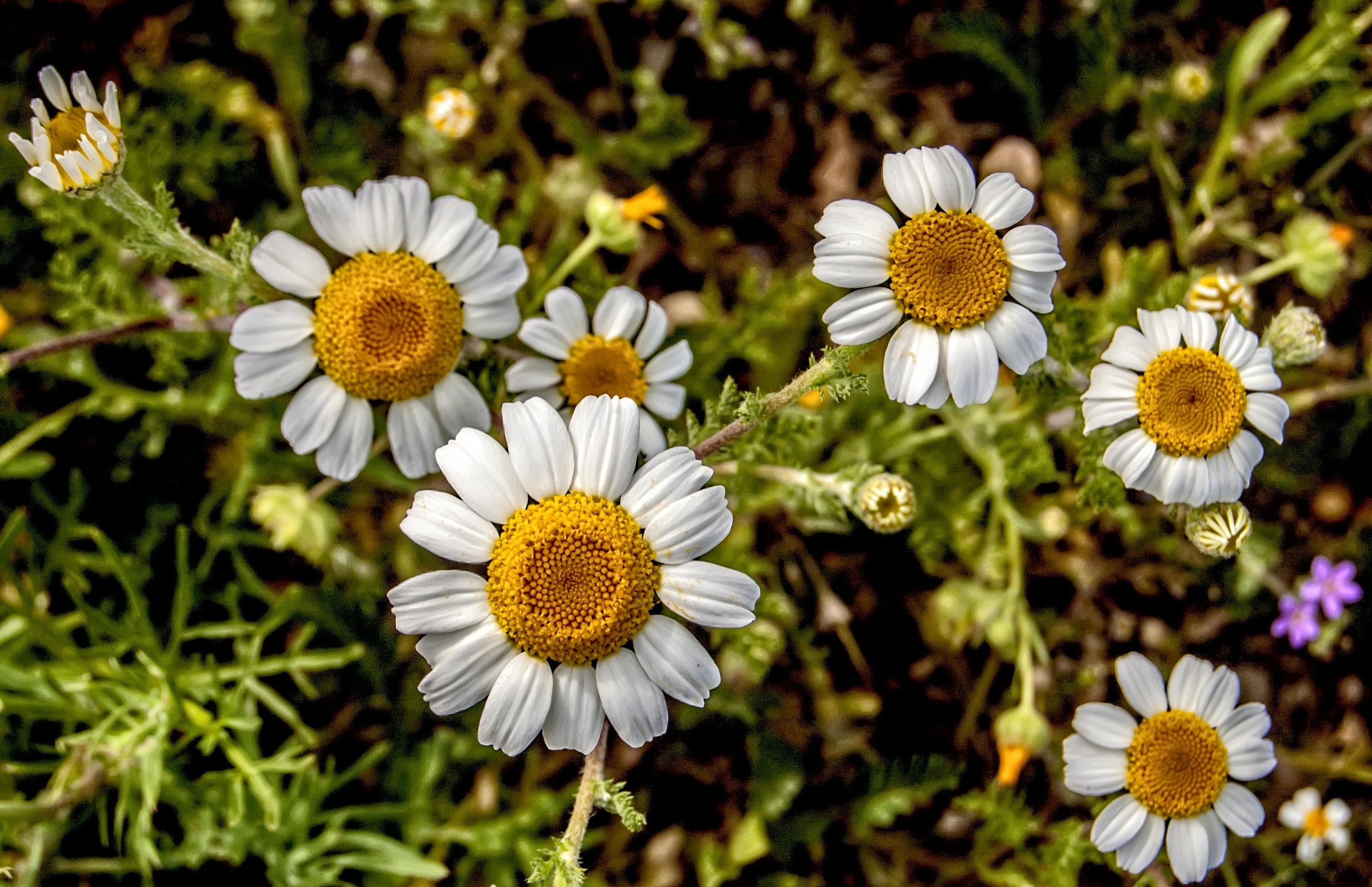 White And Yellow Daisy Flowers Free Stock Photo