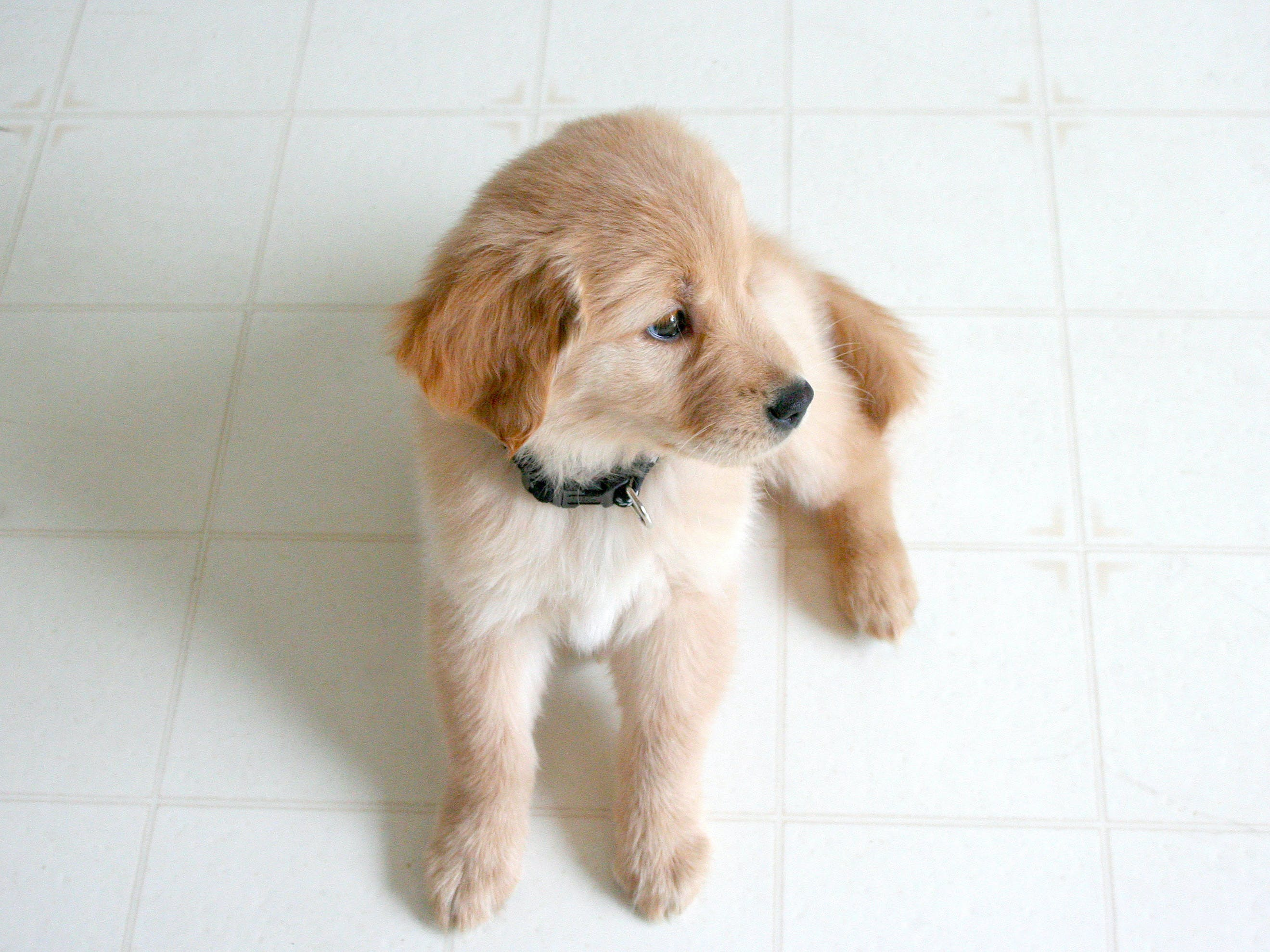 Golden Retriever Puppy on Marble Tile