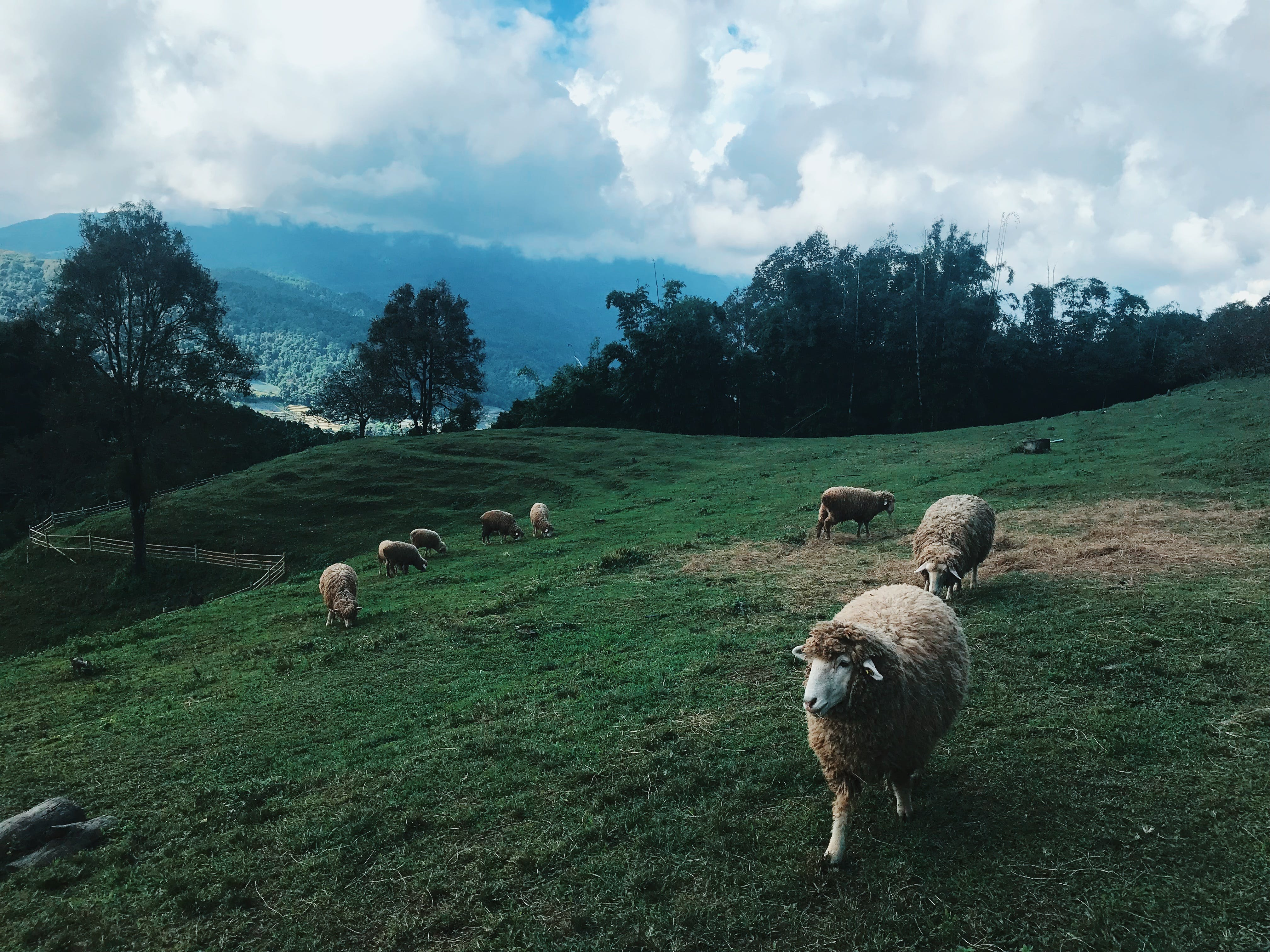 Group of Sheep at the Field