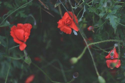 Gratis arkivbilde med blomst, eng, natur, rød