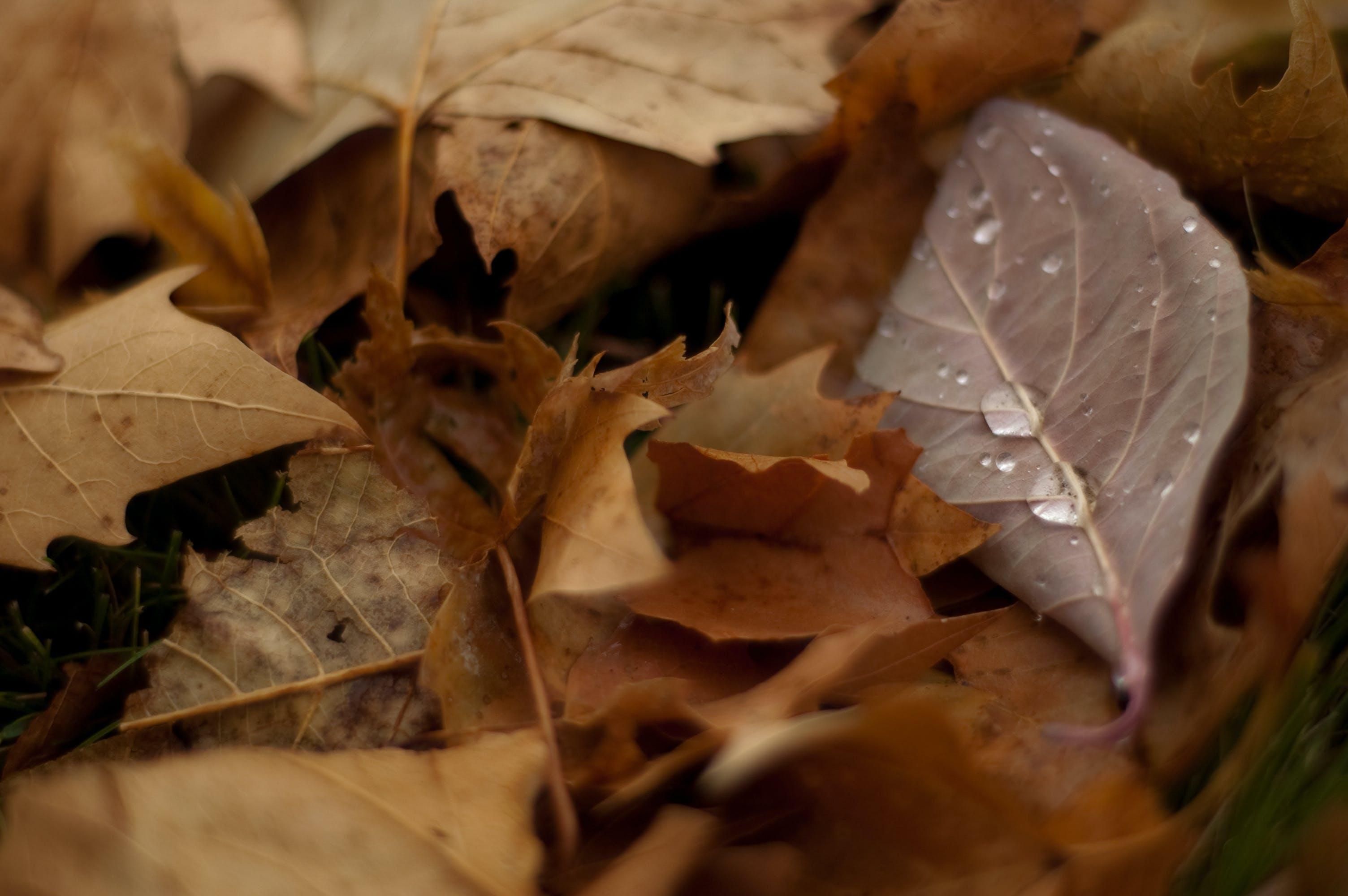 Free stock photo of autumn, autumn colors, autumn leaves, dew