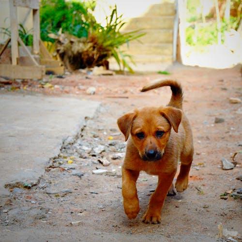 Kostenloses Stock Foto zu deutsch schäfer, hund, kreuzung, labrador