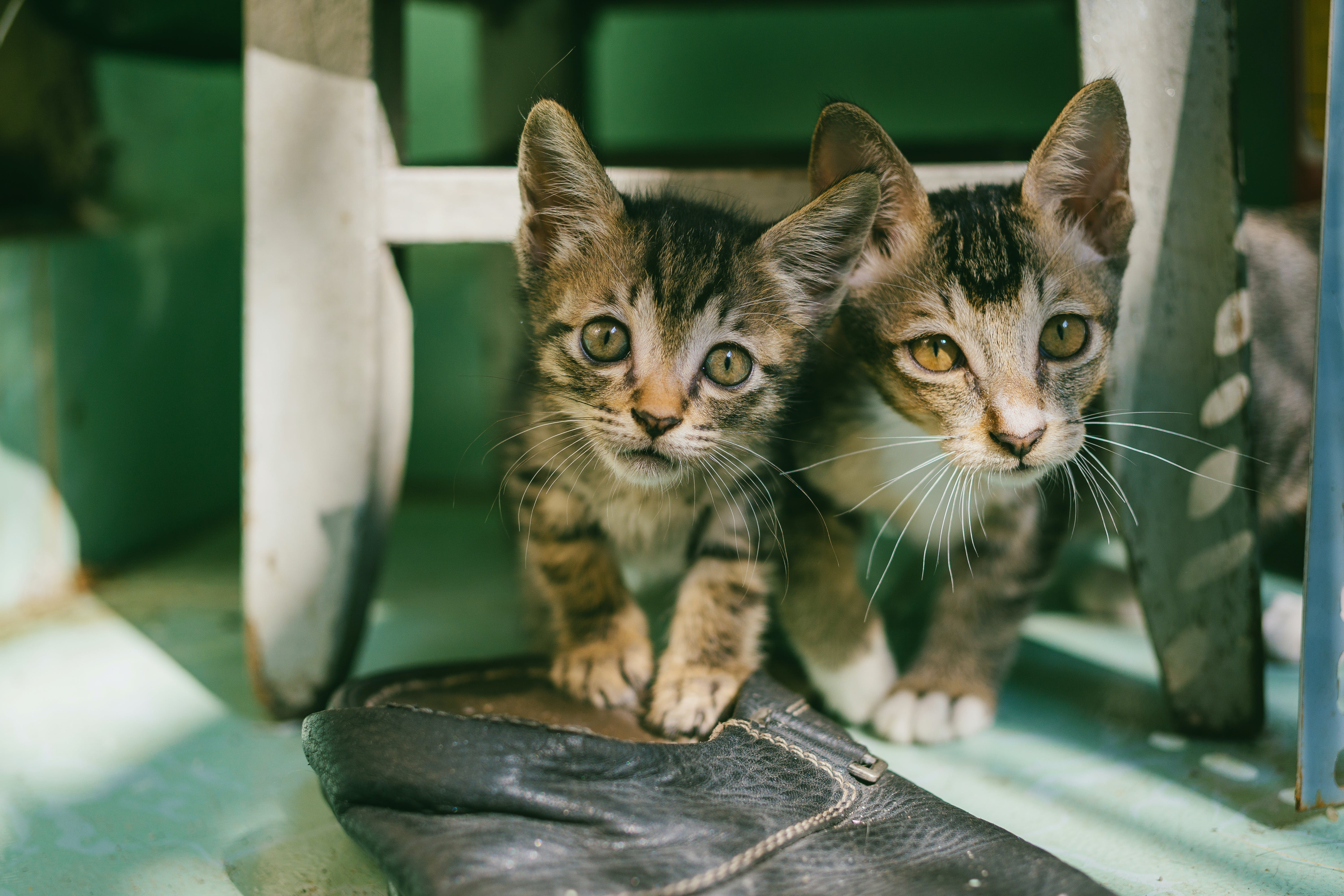 Two Brown Tabby Kittens