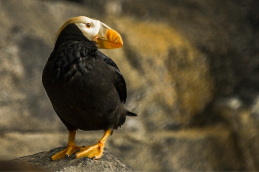 Closeup Photography of Puffin Perching on Rock