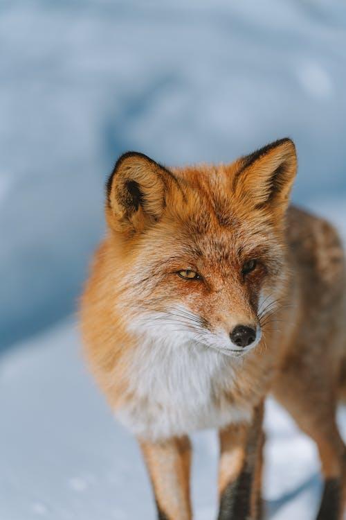 Free stock photo of alert, animal, arctic landscape