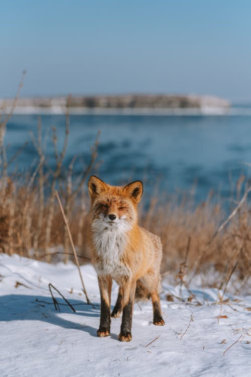Brown and White Fox on Snow Covered Ground