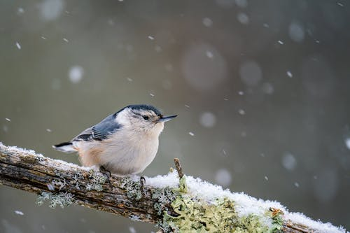Cute white breasted nuthatch with blue wings sitting on snowy tree branch in forest on blurred background in cold winter day