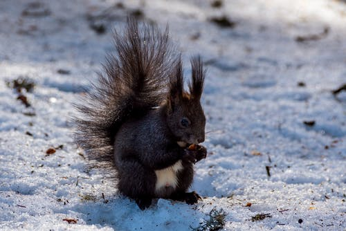 Squirrel with pine cone on snowy land in winter