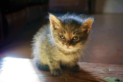 çok sevimli, Evcil Hayvan, hayvan, kedi içeren Ücretsiz stok fotoğraf