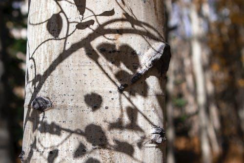 Kostenloses Stock Foto zu aspenbaum, colorado, dillon