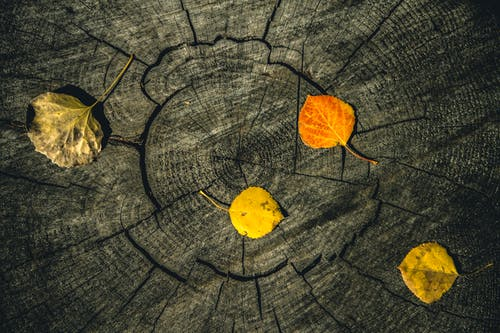 Kostenloses Stock Foto zu aspenbaum, baumringe, colorado