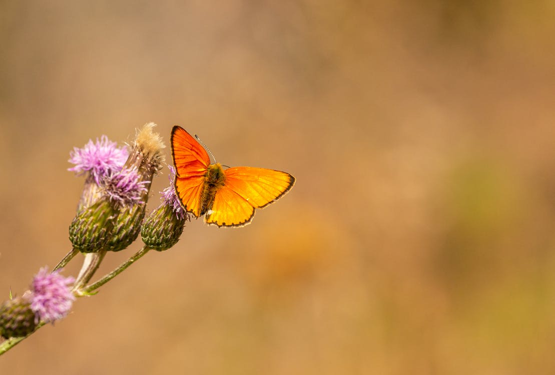 Close-Up Shot of an Orange Butterfly Perched on Flowers