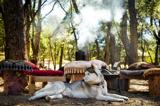 Free stock photo of dog, camping, barbecue, husky