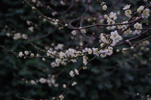 Immagine gratuita di bianco, cultura giapponese, fiore