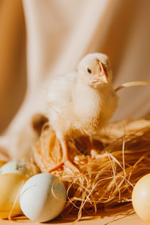 Gratis stockfoto met beest, chick, dier