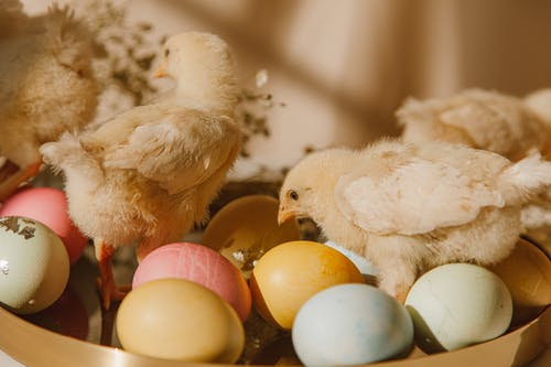 Colored Eggs And Chicks On Tray